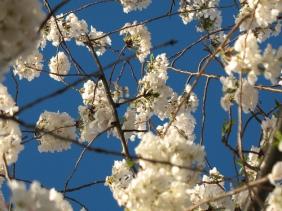 Cherry blossoms, Washington, DC, 2007